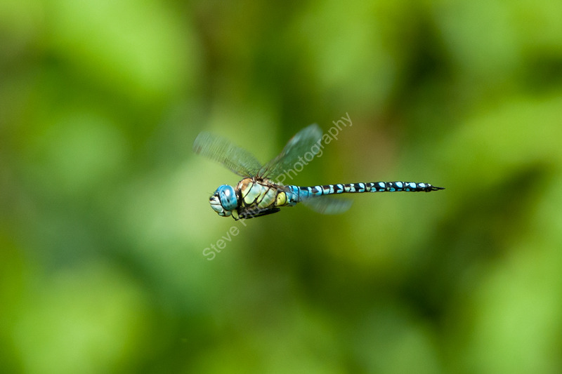 Southern Migrant Hawker male