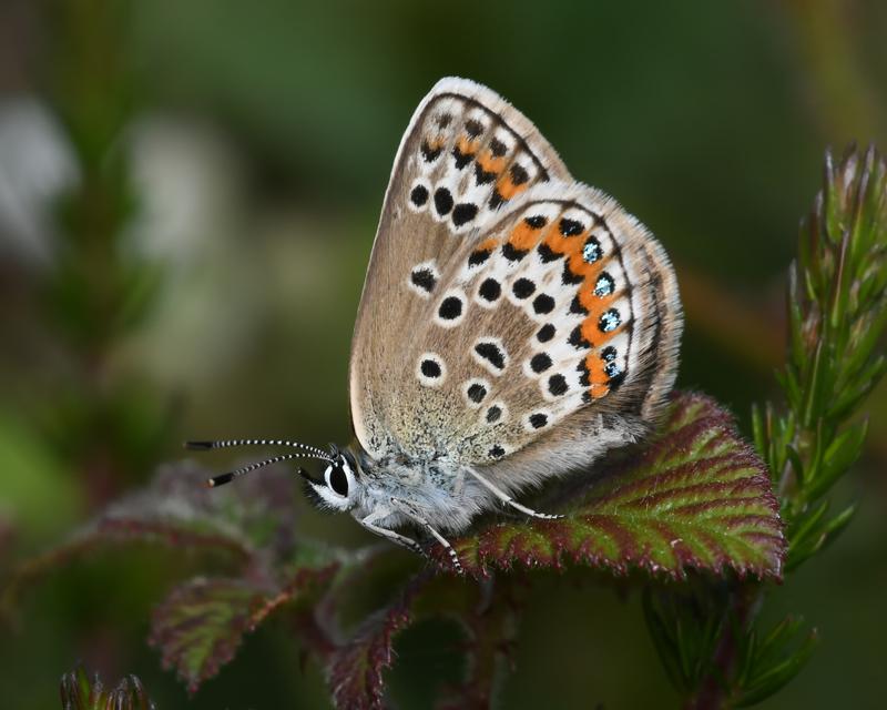 female Silver-studded Blue