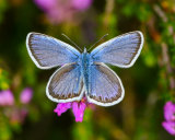 male Siver-studded Blue