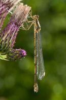 Willow Emerald Damselfly on thistle