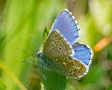 Adonis Blue