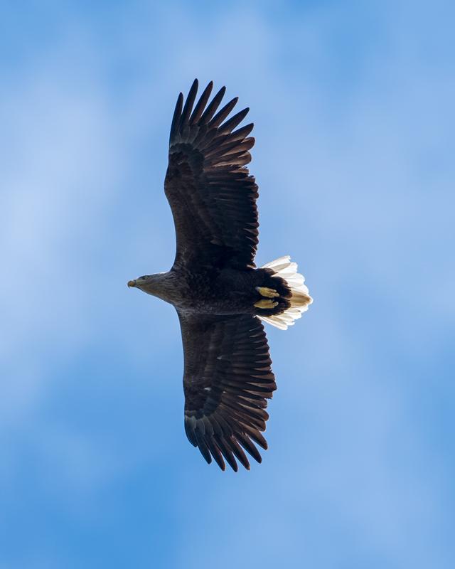 adult White-tailed Eagle