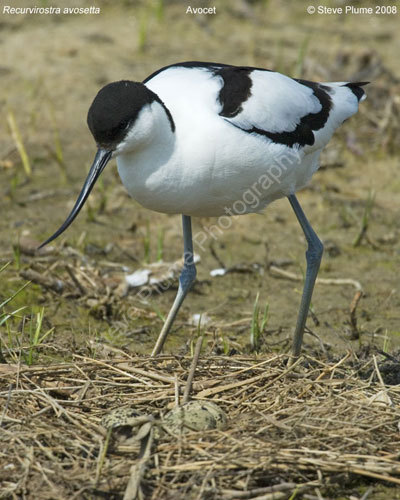 Avocet and nest