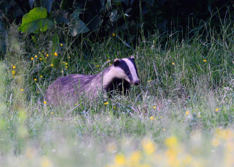 Badger, female