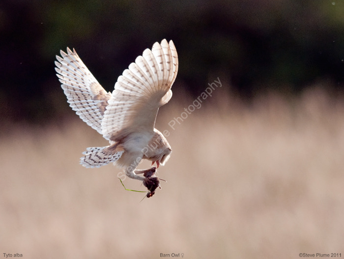 Barn Owl & rodent