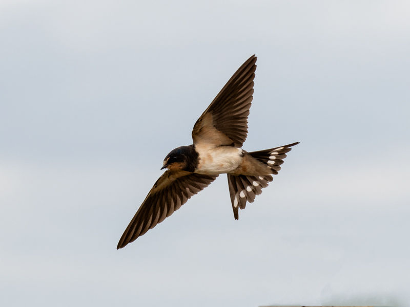 Barn Swallow feeding up for the flight home