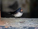 juv Barn Swallow