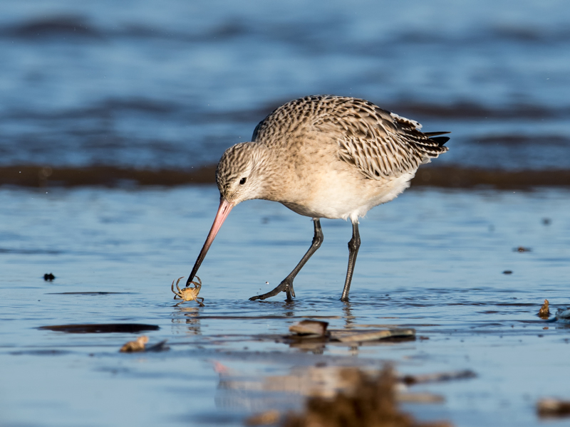 Bar-tailed Godwit Vs Crab
