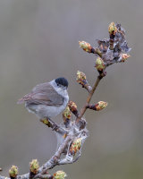 male Blackcap - minus its tail