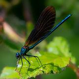male Beautiful Demoiselle