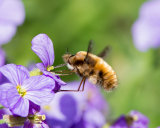 Broad-bordered Bee Fly