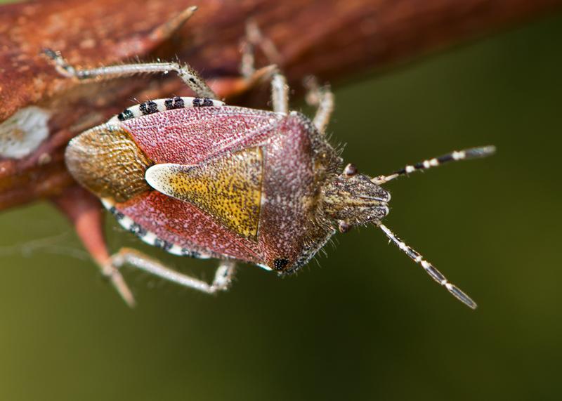 Birch Shieldbug