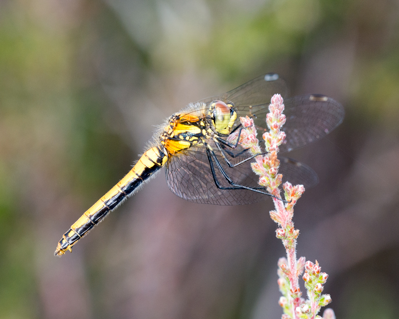 Black Darter female in profile