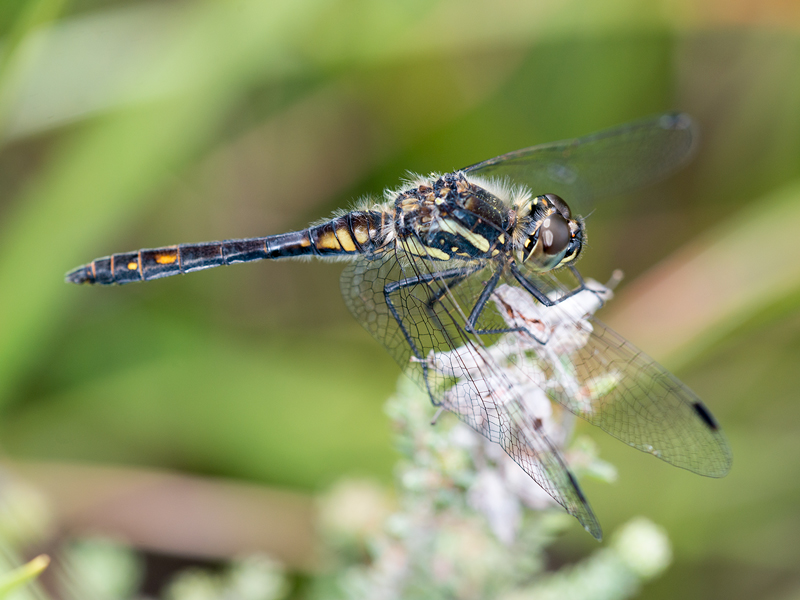Black Darter male in profile
