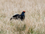 Black Grouse cock