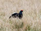 Partridges, quails & pheasants