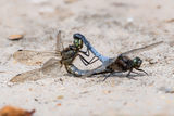 Black-tailed Skimmers