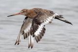 Blackwit on a grey day