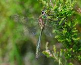 Brilliant Emerald Dragonfly