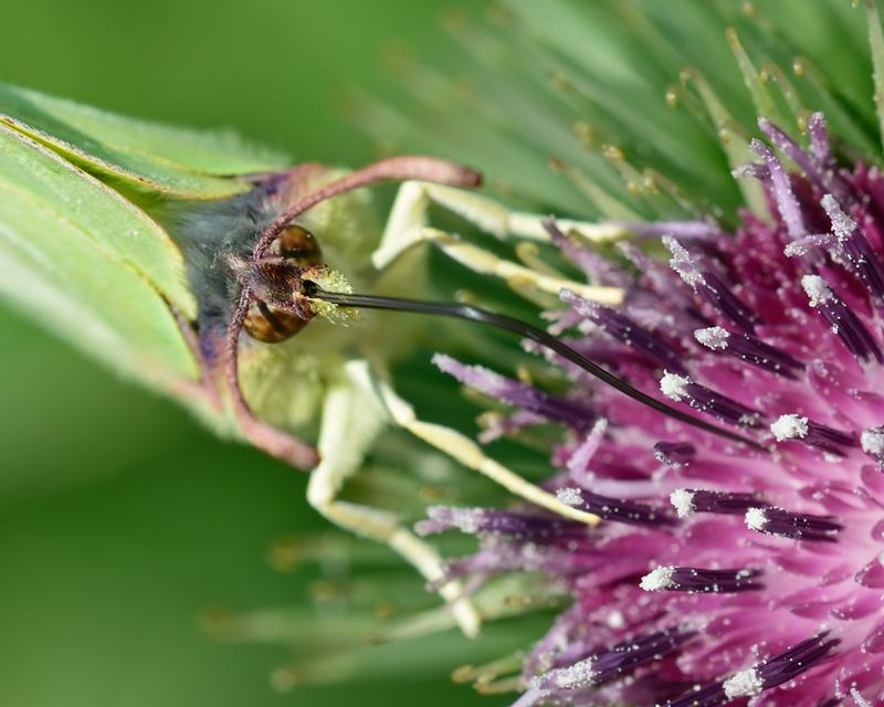 Nectaring Brimstone