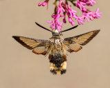 Broad-bordered Bee Hawk Moth