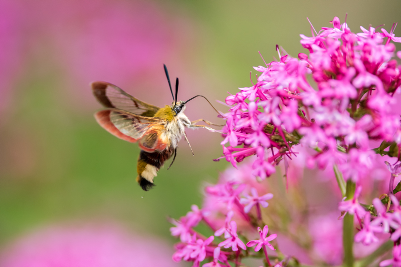 Broad-bordered Bee Hawk Moth