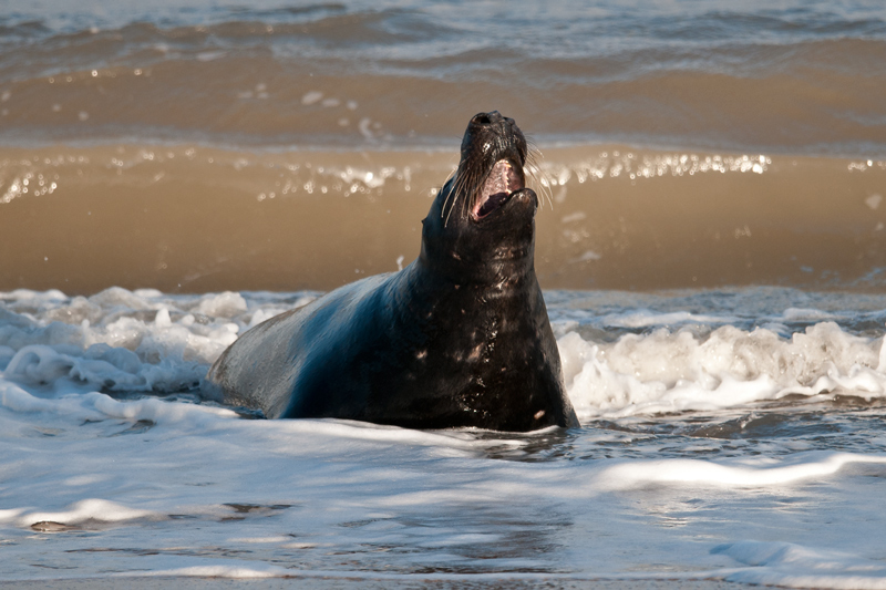 Grey Seal Bull