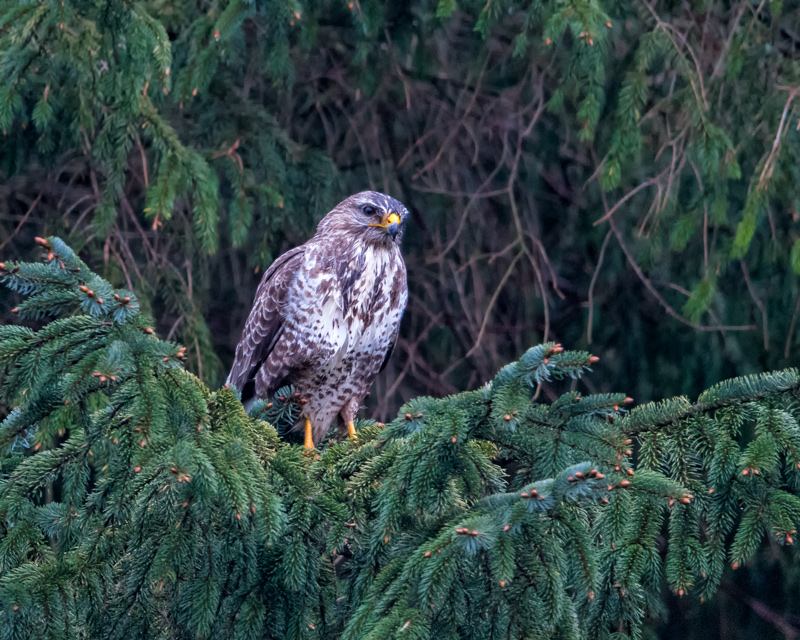 damp Buzzard