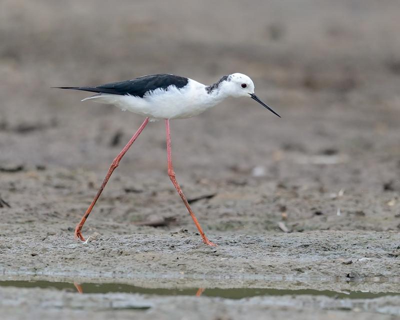 Black Winged Stilt - male