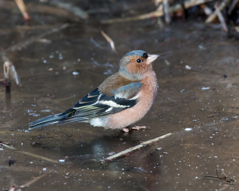 Chaffinch on the rocks