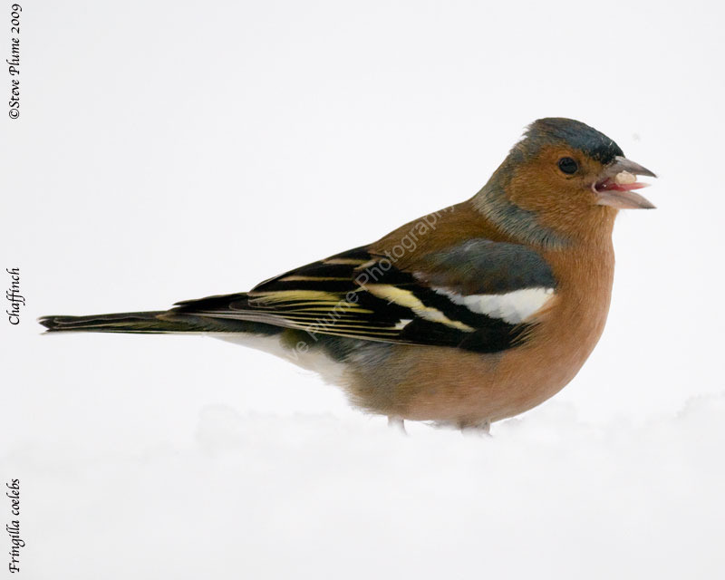 Chaffinch foraging