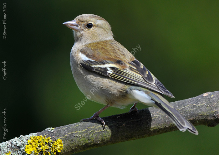 Chaffinch female
