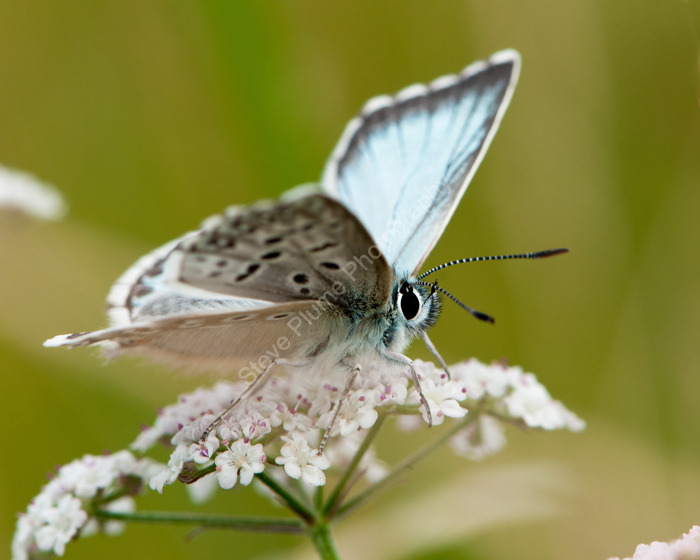 Chalkhill Blue male