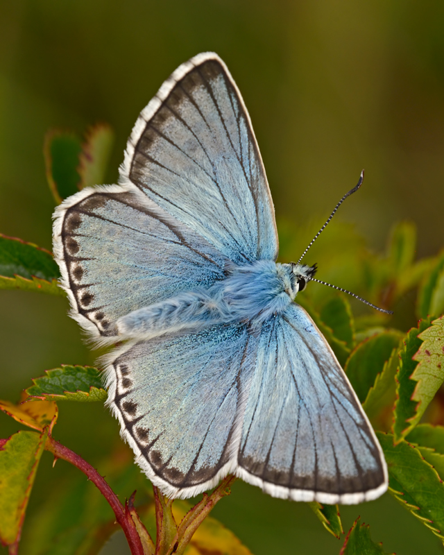 Chalk Hill Blue male