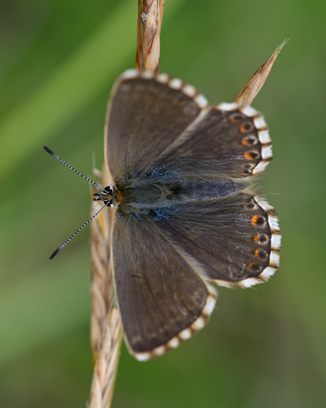 Chalk Hill Blue female