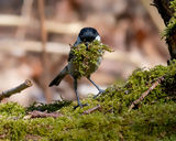 Coal Tit collecting nest material