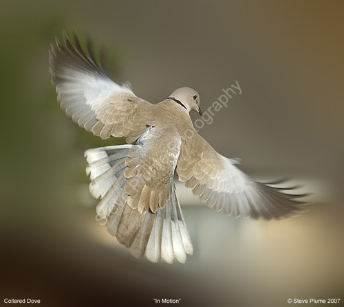 Collared Dove in Motion