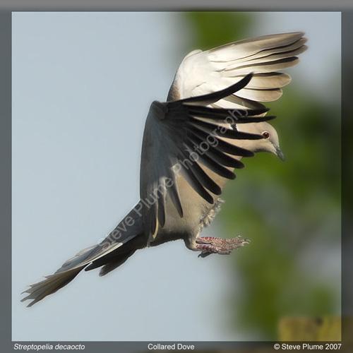 Collared Dove landing