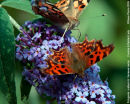 Comma & Painted Lady Butterflies