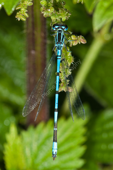 Azure Blue Damselfly