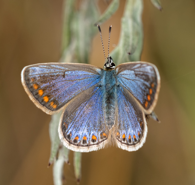 Common Blue - violet aberration