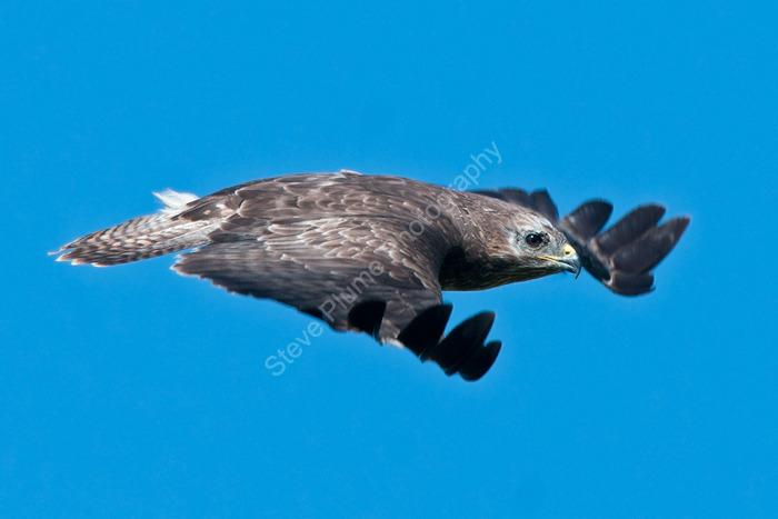 Buzzard fly by