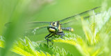 male Common Clubtail