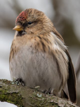 My better side - Common Redpoll