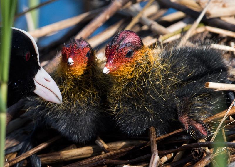 Coot Chicks and Mum