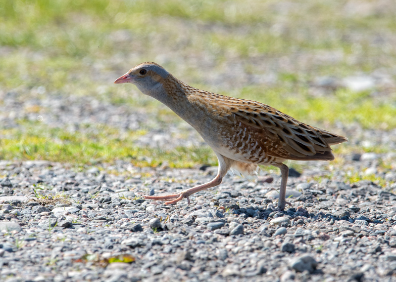 Why did the Corncrake cross the road?