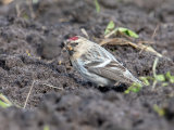 Coues Arctic Redpoll