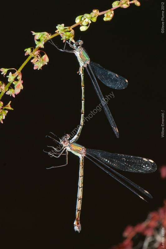 Willow Emeralds