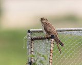 Cuckoo - juvenile