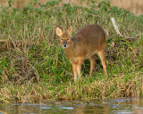 Chinese Water Deer - doe